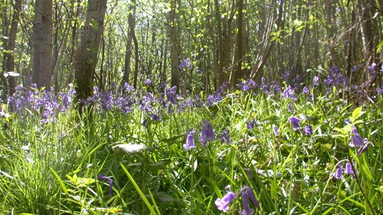 Blean Woods spring bluebells a the Royal Society for the Protection of Birds nature reserve